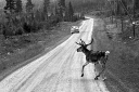 Reindeer in traffic